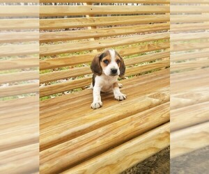 Beagle Puppy for sale in SPENCER, TN, USA
