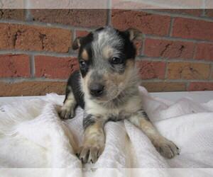 Australian Cattle Dog Puppy for sale in ANN ARBOR, MI, USA