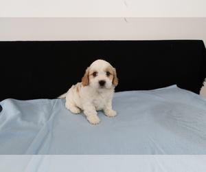 Cavachon Puppy for sale in TOLEDO, OH, USA