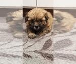 Small Photo #5 Zuchon Puppy For Sale in SHAWNEE, KS, USA