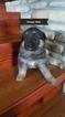 German Shepherd Dog Puppy For Sale in BRADLEYVILLE, MO, USA