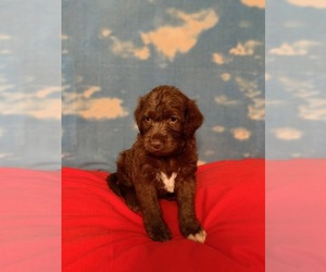 Labradoodle Dogs for adoption in RALEIGH, NC, USA