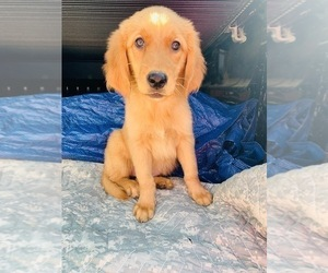 Golden Retriever Puppy for sale in BURTON CITY, OH, USA