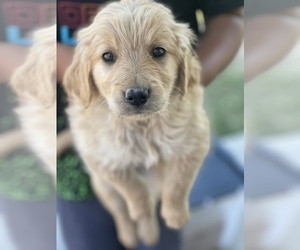 Golden Retriever Puppy for sale in SACRAMENTO, CA, USA