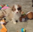Miniature Australian Shepherd Puppy For Sale in HAMER, ID