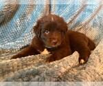 Puppy 7 Sheprador