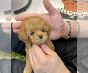 Poodle (Toy) Puppy for Sale in WELLESLEY, Massachusetts USA