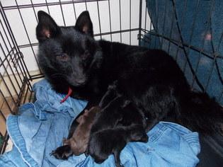 View Ad Schipperke Puppy For Sale Near Oklahoma Oklahoma City Usa