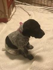 German Shorthaired Pointer Puppy For Sale in FARMINGTON, MI, USA