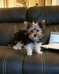 Yorkshire Terrier Puppy For Sale in FISHERS, IN, USA