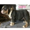 Bulldog Puppy For Sale in LA MIRADA, CA, USA