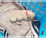Puppy 8 Golden Retriever
