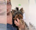 Small #19 Yorkshire Terrier