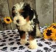 Puppy 5 Miniature Bernedoodle