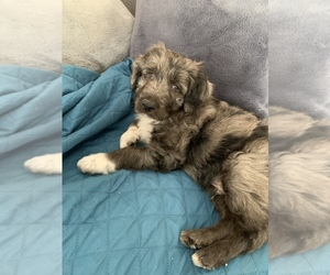 Aussiedoodle Puppy for sale in MURRIETA, CA, USA