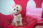 Maltipoo Puppy For Sale in DECATUR, AL, USA