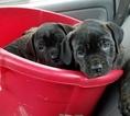 Cane Corso Puppy For Sale in CHARLOTTE, North Carolina,