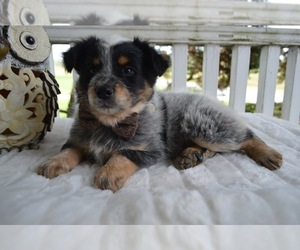 Australian Cattle Dog-English Shepherd Mix Puppy for sale in HONEY BROOK, PA, USA