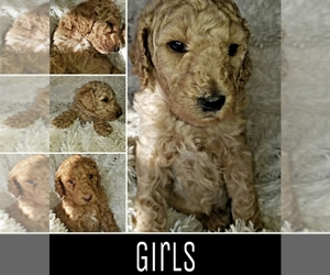 Poodle (Standard) Puppy for sale in EAST ORCHARD MESA, CO, USA