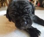 Puppy 2 Mastiff