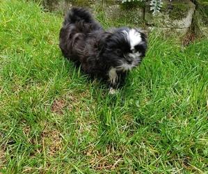 Shih Tzu Puppy for sale in RAINIER, WA, USA