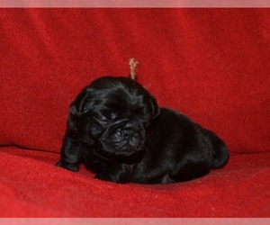 Pug Puppy for sale in GLASGOW, KY, USA