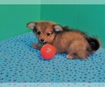 Small Photo #1 Dameranian Puppy For Sale in PATERSON, NJ, USA