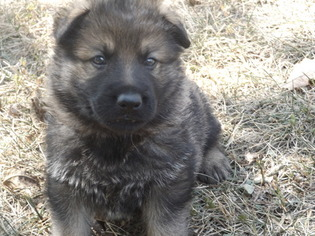 German Shepherd Dog Puppy For Sale in ELSBERRY, MO, USA
