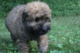 Bouvier Des Flandres Puppy For Sale in PITTSBURGH, PA, USA