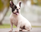French Bulldog Puppy For Sale in HOLLYWOOD, FL