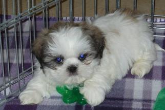 Shih Tzu Puppy For Sale in TUCSON, AZ, USA