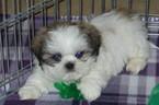 Shih Tzu Puppy For Sale in TUCSON, AZ