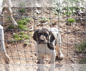 German Shorthaired Pointer Puppy for sale in PROSPECT, VA, USA