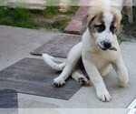 Small #840 Anatolian Shepherd-Maremma Sheepdog Mix