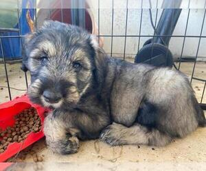 Schnauzer (Giant) Puppy for Sale in SAINT CLOUD, Florida USA
