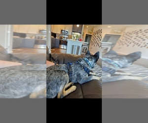 Australian Cattle Dog Puppy for sale in CEDARVILLE, MA, USA