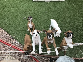 Boxer Puppy For Sale in COLORADO SPRINGS, CO, USA
