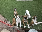 Boxer Puppy For Sale in COLORADO SPRINGS, Colorado,
