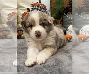 Australian Shepherd Puppy for Sale in EXETER, Missouri USA