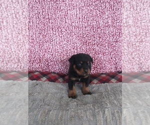 Rottweiler Puppy for sale in SHIPSHEWANA, IN, USA