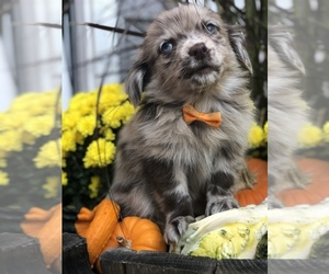 Chiranian Puppy for sale in BALTIMORE, MD, USA