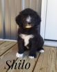 Bernese Mountain Poo Puppy For Sale in LANCASTER, MO, USA
