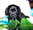 Mutt Puppy For Sale in CONTOOCOOK, NH, USA