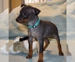 Puppy 1 American Hairless Terrier