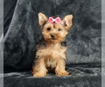 Puppy 15 Yorkshire Terrier