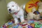 Cavachon Puppy For Sale in PATERSON, NJ,