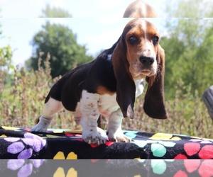 Basset Hound Puppy for sale in UNION CITY, TN, USA