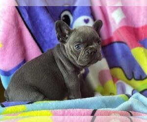 French Bulldog Puppy for Sale in BOSTON, Massachusetts USA