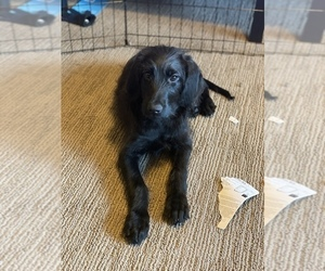 Labradoodle Puppy for sale in SEATTLE, WA, USA