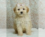 Puppy 6 Maltese-Poodle (Toy) Mix